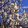 白梅が咲く